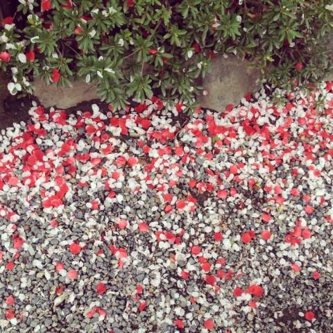 春2015_桜02