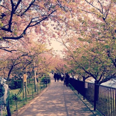 春_2015桜01